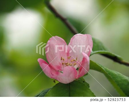カリンの花 52923753