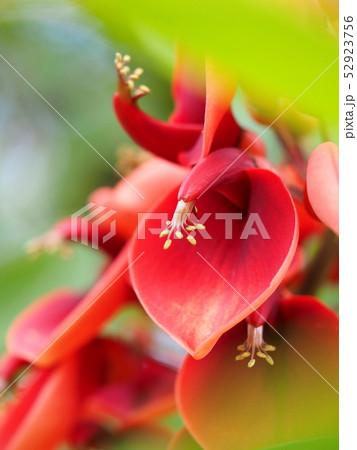 アメリカデイゴの花 52923756