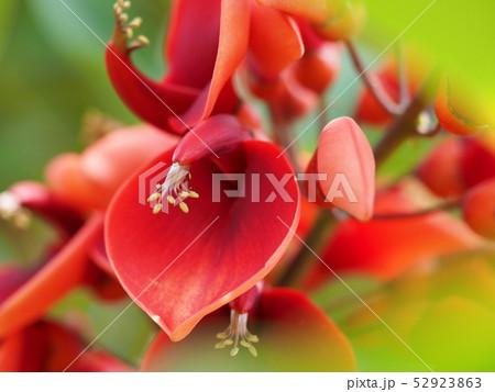 アメリカデイゴの花 52923863