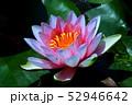 蓮の花 52946642