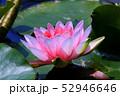 蓮の花 52946646