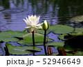 蓮の花 52946649