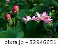 蓮の花 52946651