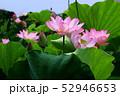 蓮の花 52946653