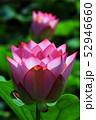 蓮の花 52946660