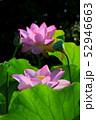 蓮の花 52946663