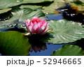 蓮の花 52946665