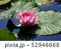 蓮の花 52946668