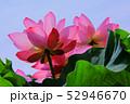 蓮の花 52946670
