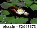 蓮の花 52946673