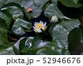 蓮の花 52946676