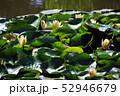蓮の花 52946679