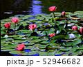 蓮の花 52946682
