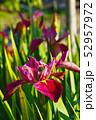 茶菖蒲の花 52957972