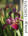 茶菖蒲の花 52957973