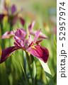 茶菖蒲の花 52957974