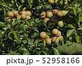 梅の実 52958166
