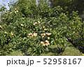 梅の実 52958167