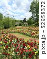 ふなばしアンデルセン公園の花めいろ。金魚草と風車(キンギョソウ)(5月)千葉県船橋市 52958372