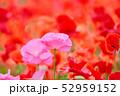 ポピー 花 虞美人草の写真 52959152