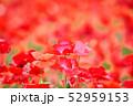 ポピー 虞美人草 花畑の写真 52959153