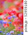 ポピー 花 虞美人草の写真 52959180