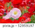 ポピー 虞美人草 花畑の写真 52959197