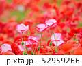 ポピー 虞美人草 花畑の写真 52959266