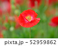 ポピー 花 虞美人草の写真 52959862