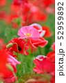 ポピー 花 虞美人草の写真 52959892