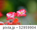 ポピー 花 虞美人草の写真 52959904