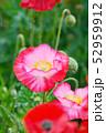 ポピー 花 虞美人草の写真 52959912