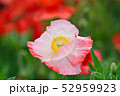 ポピー 花 虞美人草の写真 52959923