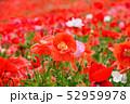 ポピー 虞美人草 花畑の写真 52959978