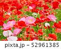 ポピー 虞美人草 花畑の写真 52961385