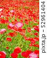 ポピー 虞美人草 花畑の写真 52961404