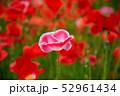 ポピー 花 虞美人草の写真 52961434
