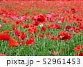 ポピー 虞美人草 花畑の写真 52961453