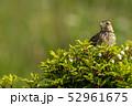 木の上に止まるヒバリ 52961675