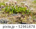 虫を捕まえたヒバリ 52961678