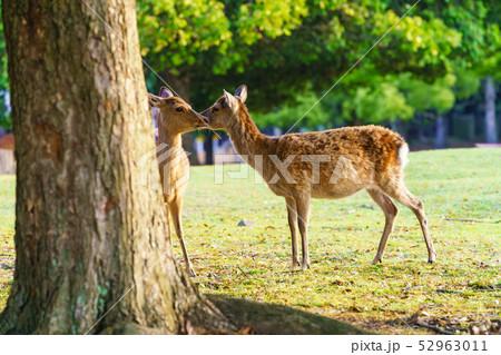 奈良公園の鹿 52963011