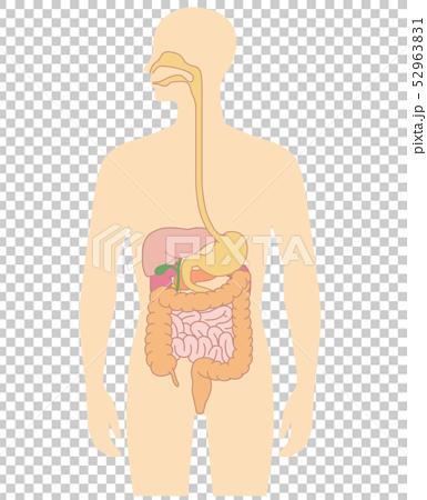 內臟的人體視圖 52963831