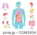 ベクター 内臓 人体のイラスト 52963834