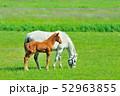 馬 サラブレッド 放牧の写真 52963855