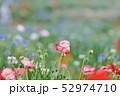 ポピー 花 満開の写真 52974710