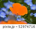 ポピー 花 きれいの写真 52974716