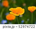 ポピー 花 きれいの写真 52974722