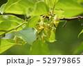 柿の雄花 52979865
