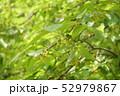 柿の雄花 52979867
