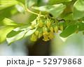 柿の雄花 52979868